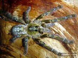 poecilotheria rajaei new tarantula specimen found in sri
