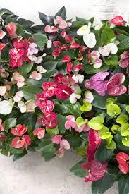 19 best u0026anthurium images on pinterest houseplant indoor plants