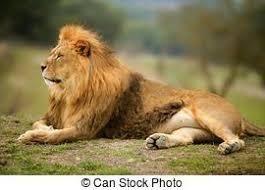 imagenes de leones salvajes gratis leones almacen de fotos e imágenes 79 932 leones retratos y