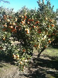 citrus trees landsdale plants
