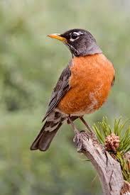 Wisconsin birds images Birds of wisconsin jpg