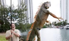 imágenes de iguanas verdes eeuu residentes de florida combaten la plaga de iguanas verdes wipr