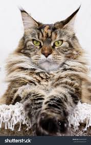 oma s k che maine coon cat cat muzzle stock photography images pictures