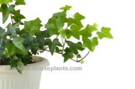 growing english ivy plant care hedera helix