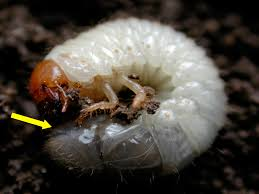 Garden Pests Identification - integrated management of turfgrass insects