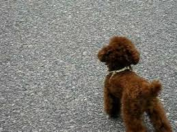 standard poodle hair styles teacup poodle new hair style youtube
