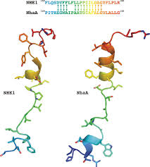 structural and functional analysis of the na h exchanger
