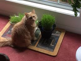 Cat Laying On Glass Table How To Grow Cat Grass 5 Steps With Pictures