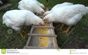 backyard chickens eating stock footage video 39685390