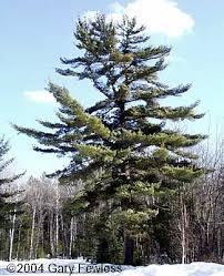 white pine tree trees of wisconsin pinus strobus white pine