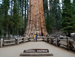 traveling around the globe general sherman tree one of the