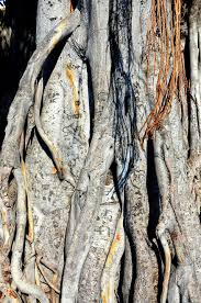 initials carved in tree initials carved on banyan tree in kailua kona island of