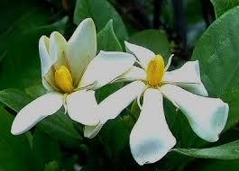 Gardenia Flower Herbs Gardenia Or Cape Jasmine Culinary Medicinal Uses And