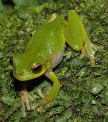 pearson s green tree frog