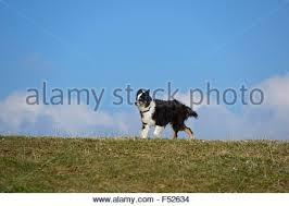 australian shepherd young australian shepherd running up a dog walk at an agility trial