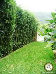 best 25 bamboo hedge ideas on bamboo garden fences