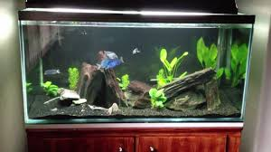 blue dolphin aquarium cyrtocara moorii youtube
