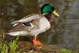 mallard ducks u2013 paul brown photography