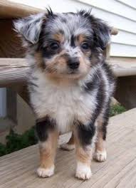 australian shepherd australian cattle dog mix australian shepherd pomeranian mix this dog is amazing animals