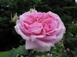 Achat Rosier Grimpant by Ispahan Rose De Damas U20ac 11 50 20 50 Histoires De Roses Com