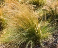 buy cordateria selloana white plume pas grasses at http www