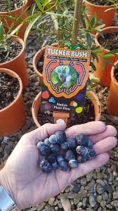 native edible plants australia tucker bush tuckerbushplant twitter
