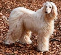 afghan hound harga the dog in world kind of dogs