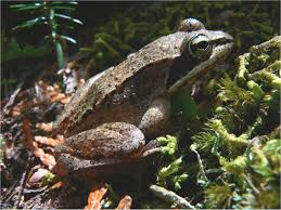 wood frog fact sheet signs of the seasons a new england