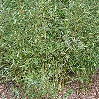 phyllostachys viridi glaucescens ornamental bamboo information