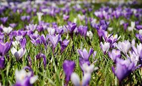 free flowers purple flowers images pixabay free pictures