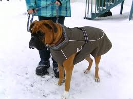 boxer dog quebec best clothing to keep boxers warm in cold temps 30f page 2