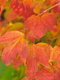 trees u0026 shrubs fall color midwest living