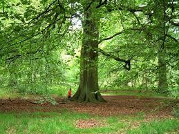 best 25 beech tree ideas on trees beautiful trees