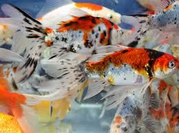 4 live goldfish yellow comet sarasa shubunkin 4 5 inch koi