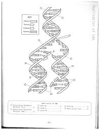 dna replication coloring worksheet on dna coloring worksheet