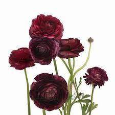 burgundy flowers ranunculus search 10 24 flower order