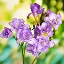 freesia flower freesia blue freesia lacteal corms fragrant purple