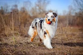 australian shepherd vomiting so many dog foods on the market but which one is good for my dog