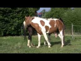 mustangs mating paint horses mating