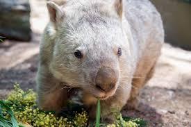 Wombat Memes - wombats