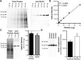 orbitofrontal neuroadaptations and cross species synaptic