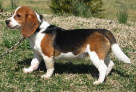 queen elizabeth dog queen elizabeth pocket beagle dog breed information and pictures