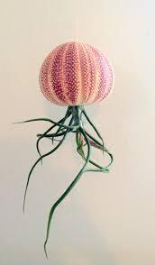 air plant bulbosa medusa hanging large english channel urchin