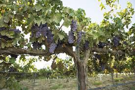 How To Grow Grapes In Your Backyard by 10 Drought Tolerant Plants To Have A Bountiful Garden U2014with Less