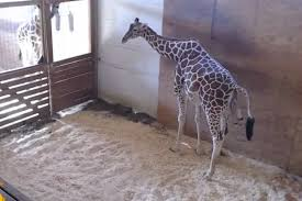 april the giraffe gives birth time