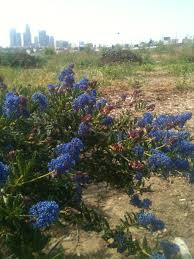los angeles native plants native plant garden everything is medicine