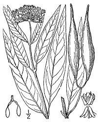 usda native plants asclepias incarnata u2014 the native plant society of northeastern ohio