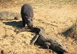si e social hippopotamus hippo science smithsonian