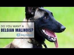 belgian shepherd virginia do you want a malinois youtube