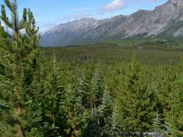 different tree species use the same genes to adapt to climate change